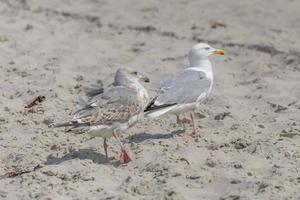 duas jovens gaivotas estão paradas na areia em uma duna foto