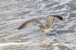 gaivota arenque marrom sobrevoa a praia arenosa do mar Báltico com ondas foto