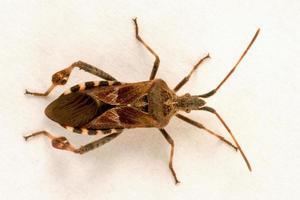 inseto pinheiro americano foto