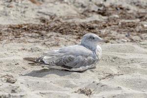 jovem gaivota está sentada na areia em uma duna foto