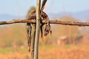 carcaça de animal para alimentação de aves de rapina selvagens foto