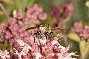 mosca está sentada em uma flor rosa de manjerona foto