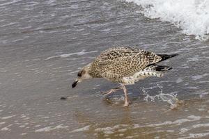 gaivota marrom bicando na praia por um molusco foto