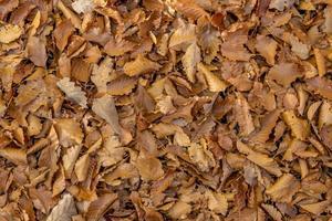 piso de floresta em tamanho real com faia outonal e folhas de carvalho como pano de fundo foto