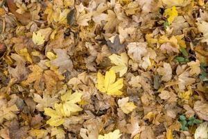 folhas coloridas outonais de árvores de bordo full frame como pano de fundo foto