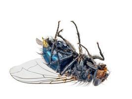 close-up de uma mosca morta deitada de costas foto