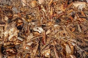 chão de floresta de outono com folhas de faia e carvalho, agulhas e pinhas como pano de fundo foto