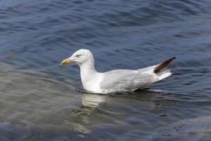 gaivota nadando no mar em ondas leves foto