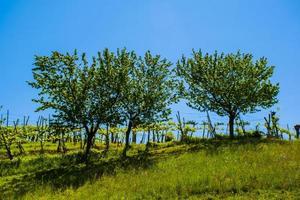 três cerejeiras foto