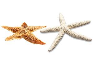 estrela do mar isolada no branco foto