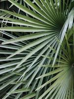 folhas de palmeira tropical foto