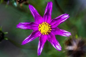 close up de cosmos bipinnatus na floresta foto