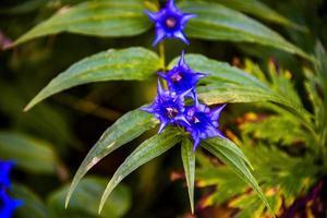 close up de Gentiana Asclepiadea na floresta foto