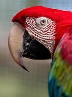 arara vermelha e verde foto