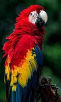 retrato de arara vermelha foto