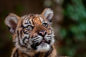 pequeno tigre de sumatra foto