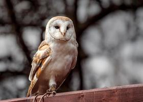 retrato de coruja de celeiro foto