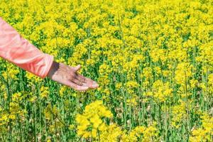 mão acariciando as flores amarelas da colza foto