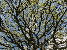 galhos de carvalho com folhas novas de primavera e um céu azul foto
