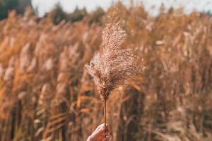 mão segura o ramo da inflorescência hierochloe odorata foto