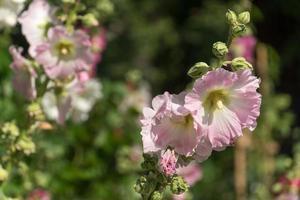 hibiscos ou outras flores do campo, beleza da natureza foto