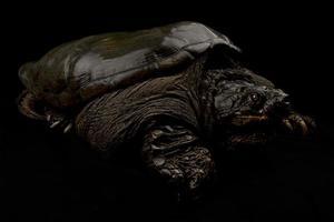 tartaruga agarradora comum chelydra serpentina foto