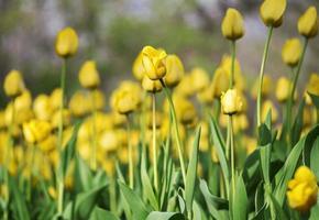 fundo floral com tulipas amarelas desabrochando em um canteiro de flores e foco seletivo foto