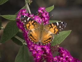 borboleta em arbusto de borboleta foto