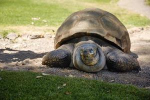 detalhe de tartaruga gigante em arequipa peru foto