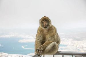 os macacos barbary macaque de gibraltar foto