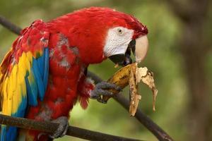 papagaio arara comendo uma banana foto