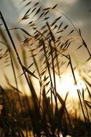 linda grama seca durante o pôr do sol dourado foto