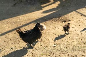retrato de uma galinha de raça pura no fundo de um galinheiro foto