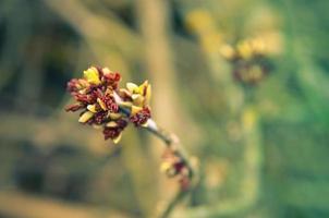 acer negundo box Elder boxelder maple ash flor de bordo com folhas florescendo no início da primavera foto