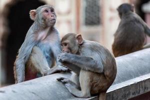 macaco rhesus, no templo hanuman, jaipur, rajasthan, índia foto