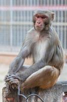 macaco rhesus no templo hanuman, rajasthan, índia foto