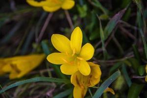 esternbergia lutea zero foto