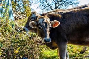 retrato de vaca cinza foto