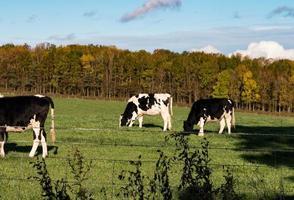 gado preto e branco em um campo foto