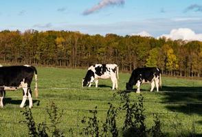 gado preto e branco pastando foto
