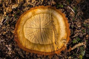 cortar tronco de árvore foto