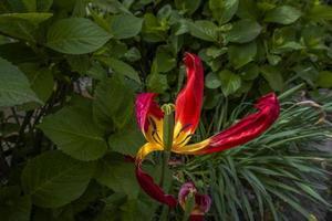20210501 tulipa grancona murcha 1 foto