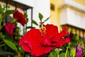 hibisco vermelho em estepona foto