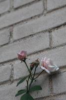 rosa branca na parede foto