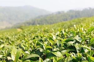 plantação de chá em doi mae salong chiangrai tailândia foto