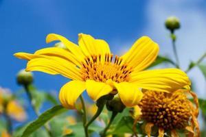 close up do mexicano girassol erva daninha bau tong flor e céu azul em mae hong son tailândia foto