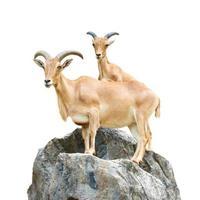 serow mountain goat capricornis sumatraensis stand na rocha em chiangrai tailândia isolada foto