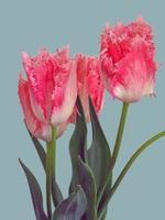close up de lindas flores de tulipa com franjas rosa foto