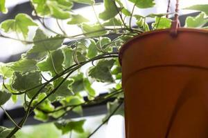 Hera inglesa ou hedera helix em vaso de flores na varanda da casa e do jardim foto