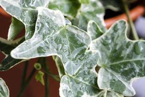 macro gota de chuva em folhas de ivy ou hedera helix foto